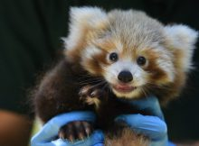 red panda cub perth zoo photo alex asbury teaser
