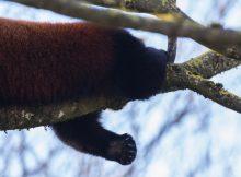 red panda photo