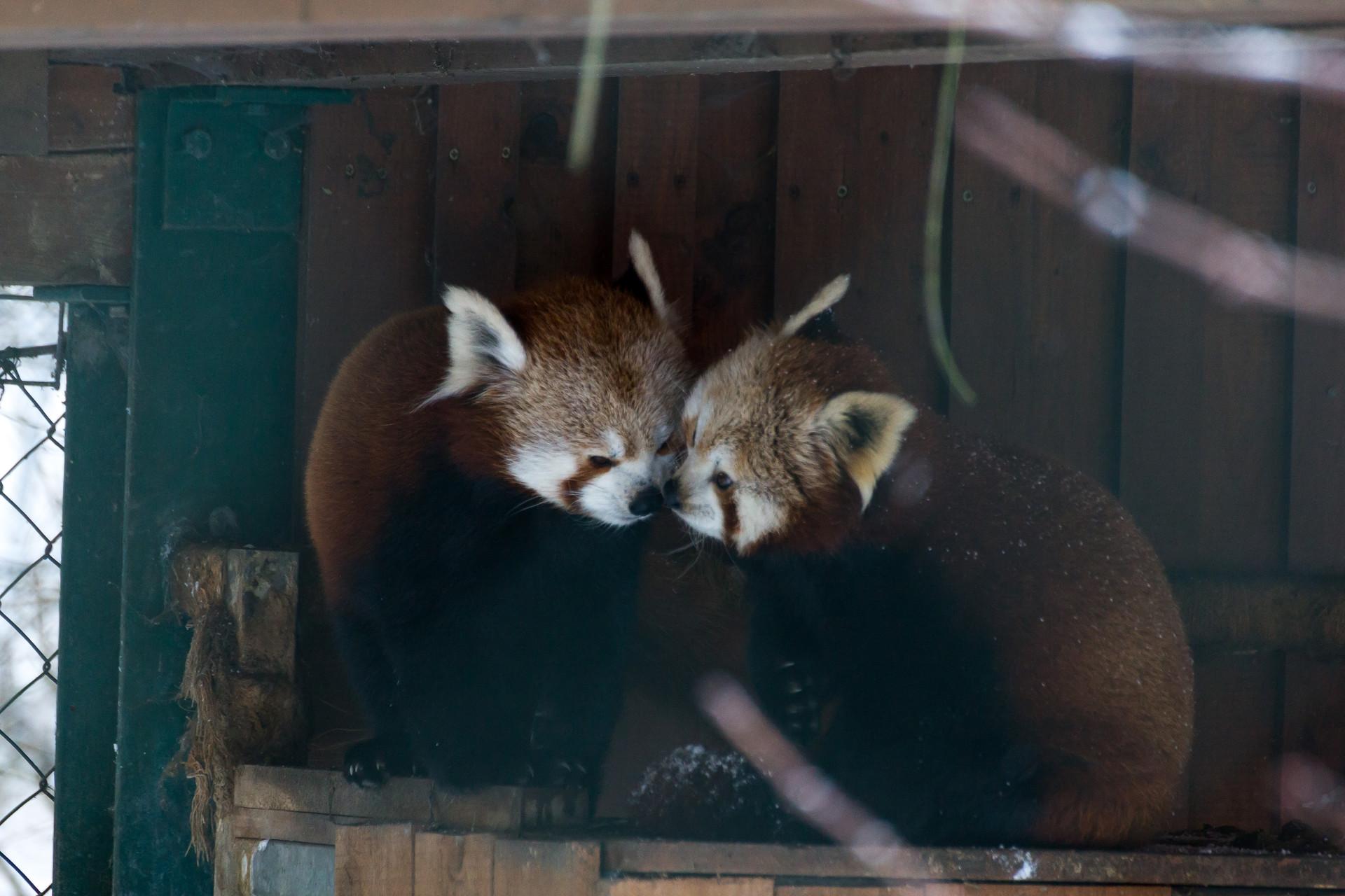 rote pandas linz zoo jürgen breitenbaumer