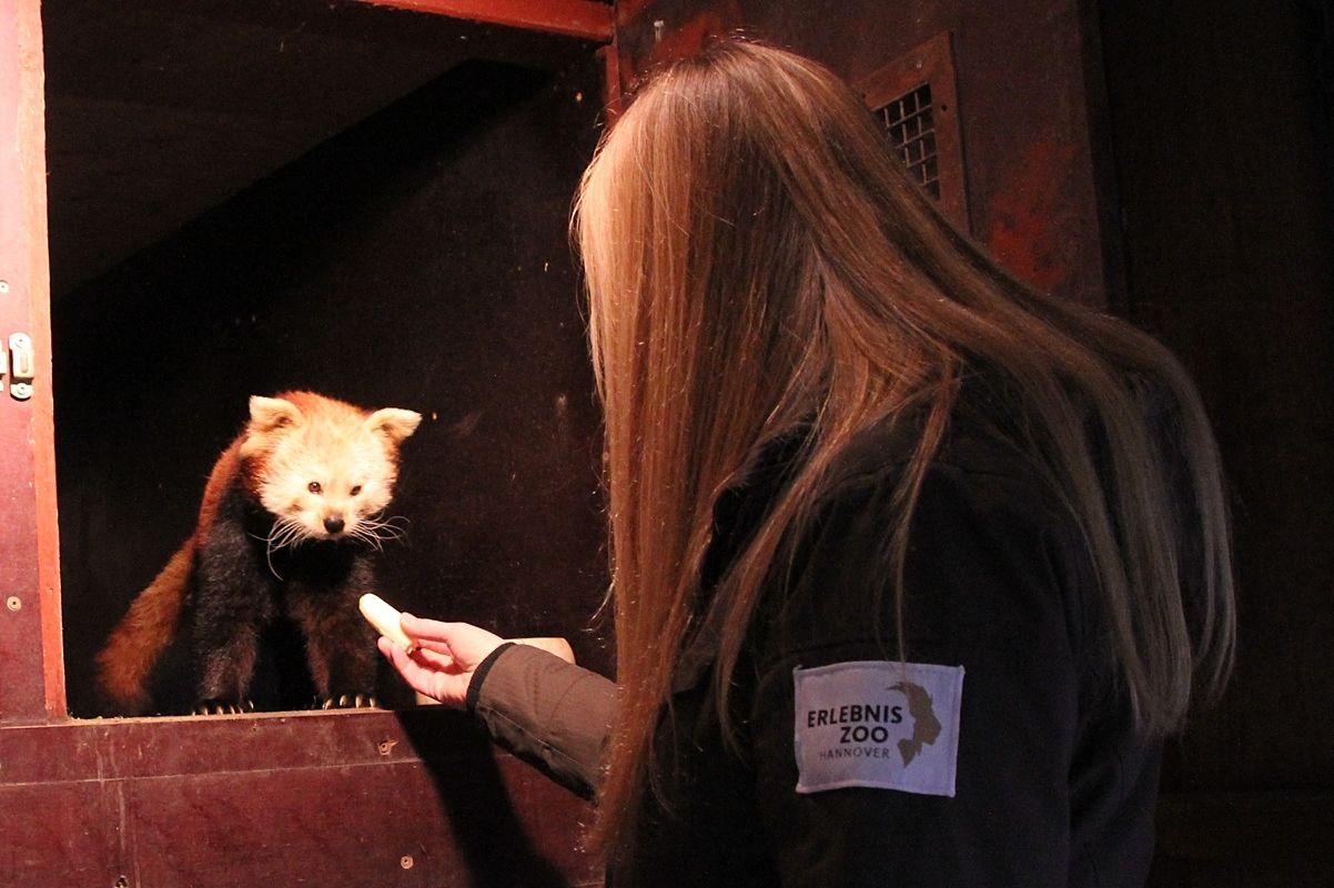 roter panda auktion foto zoo hannover 1