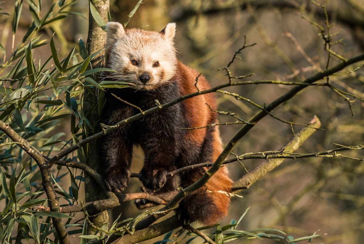 roter panda auktion foto zoo hannover 2