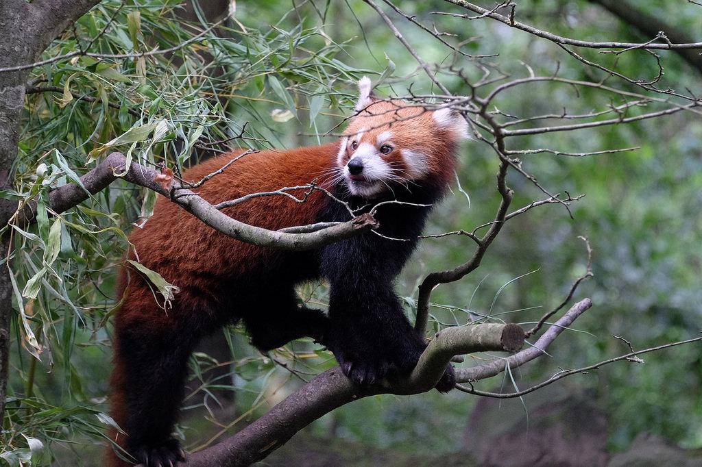 panda hannover photo
