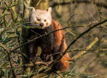 roter panda erlebnis-zoo hannover
