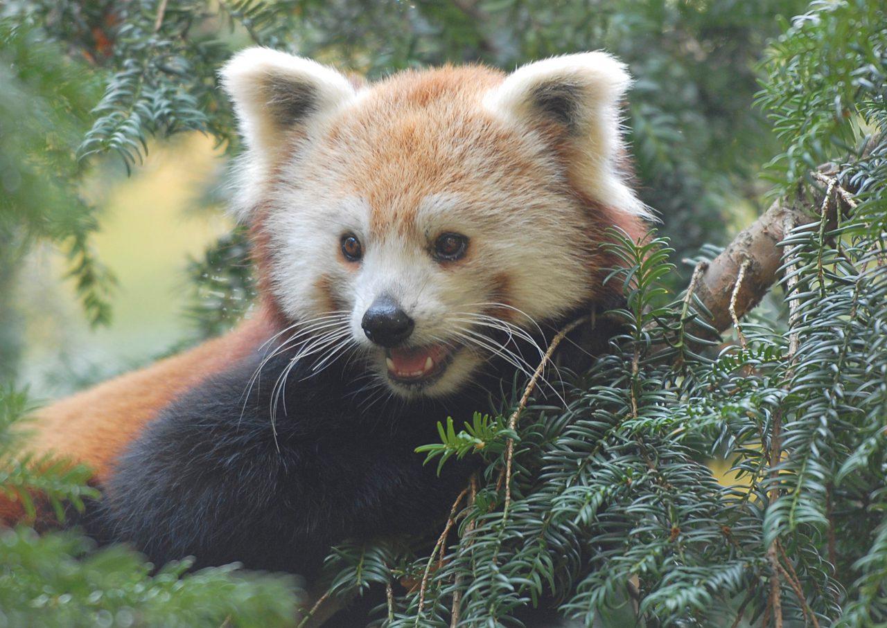 roter panda upendra aachener zoo zoo görlitz