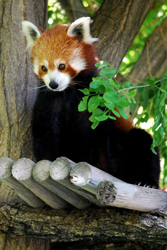 red panda hogle zoo photo