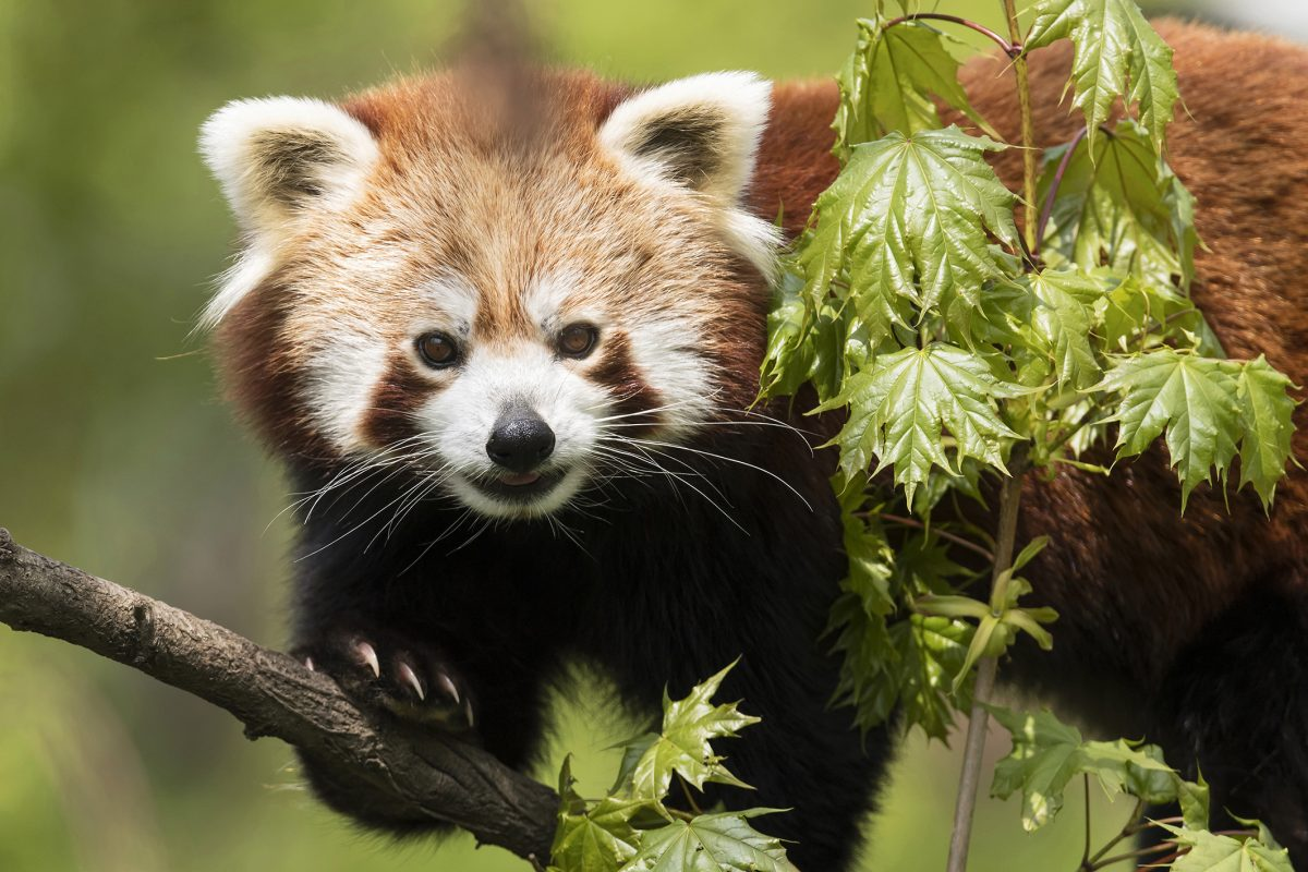 Red Panda Mahalia