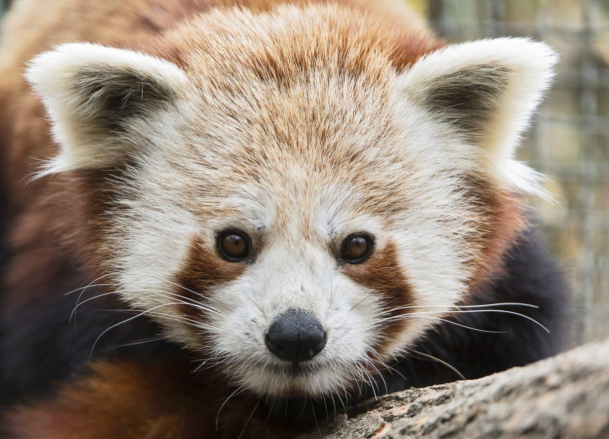 Red Panda Manjul