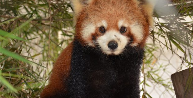 red panda free the bears
