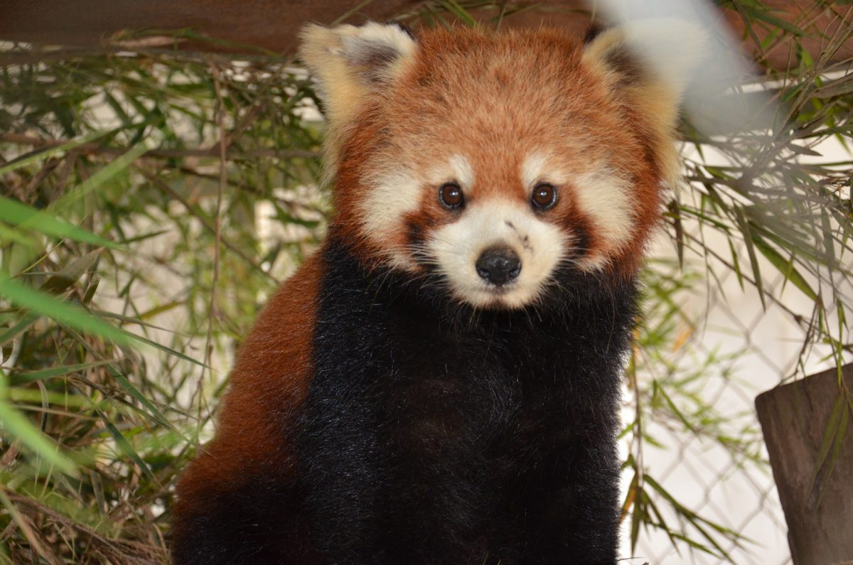red panda free the bears