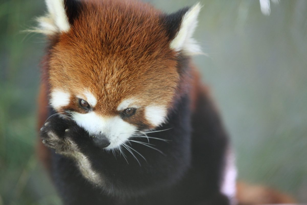 red panda laos free the bears