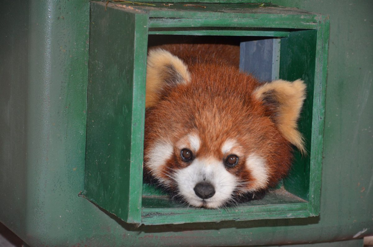 red pandas laos free the bears