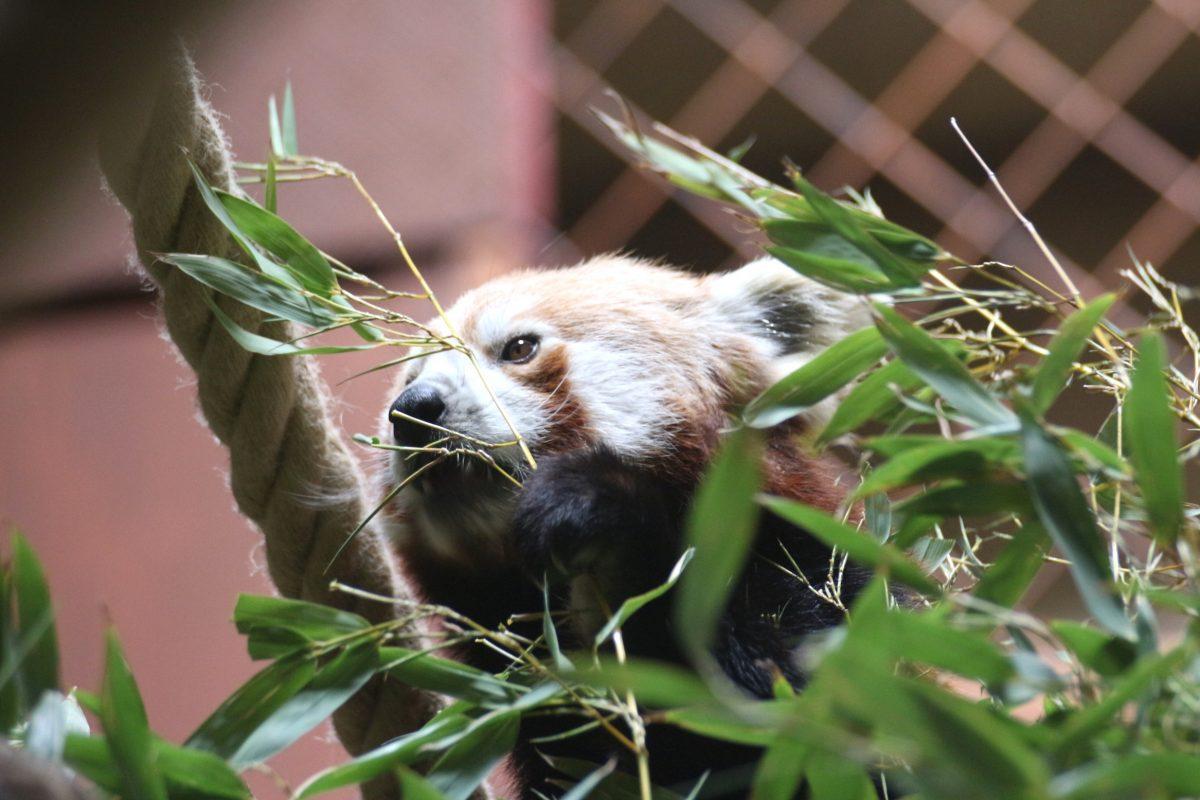roter panda pong zoo osnabrück