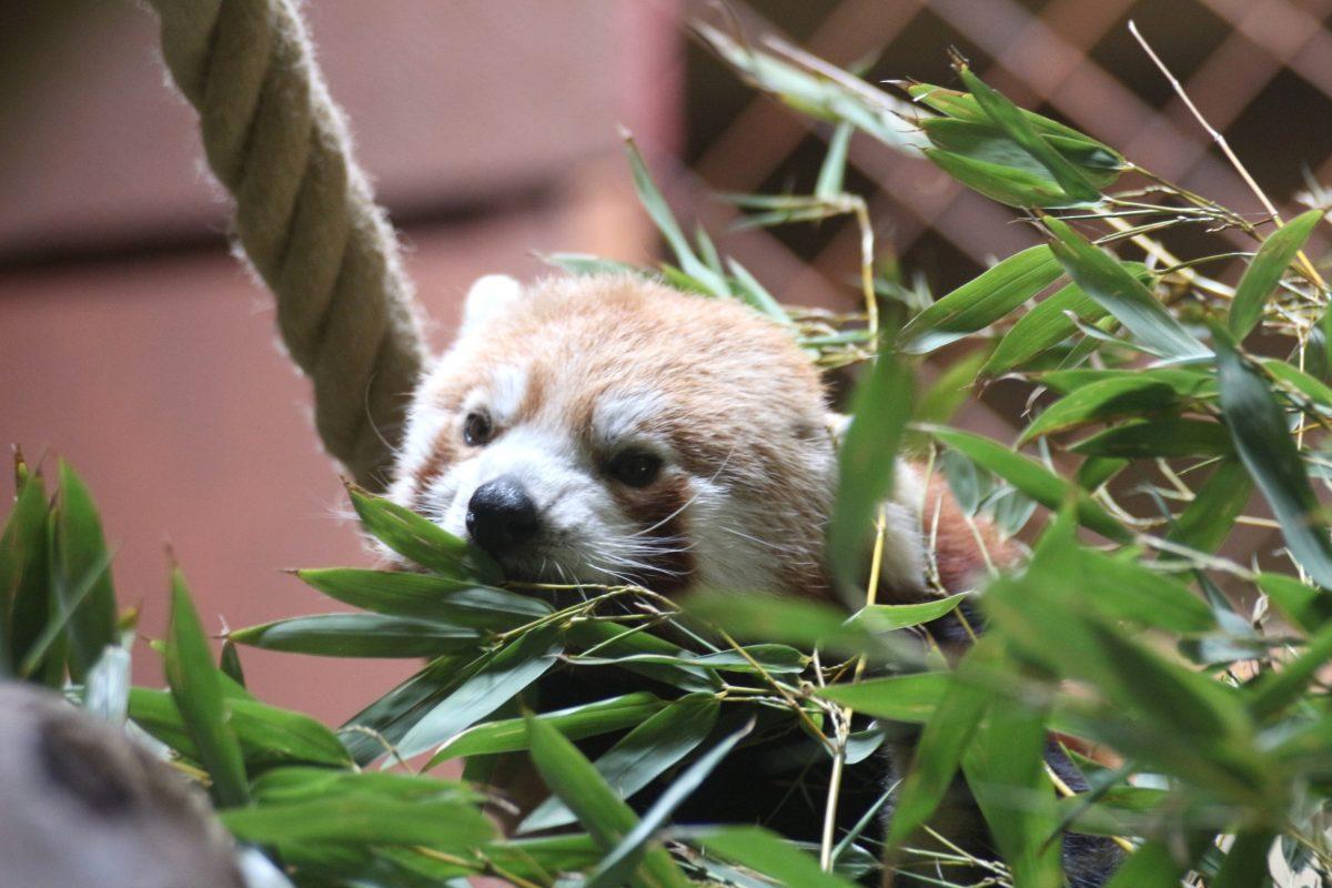 Zoo Osnabrück Roter Panda