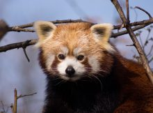 roter panda red panda traffic studie
