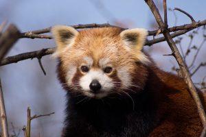 roter panda red panda traffic studie