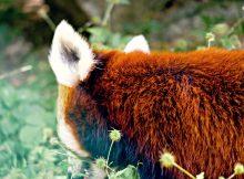 rote pandas langtang