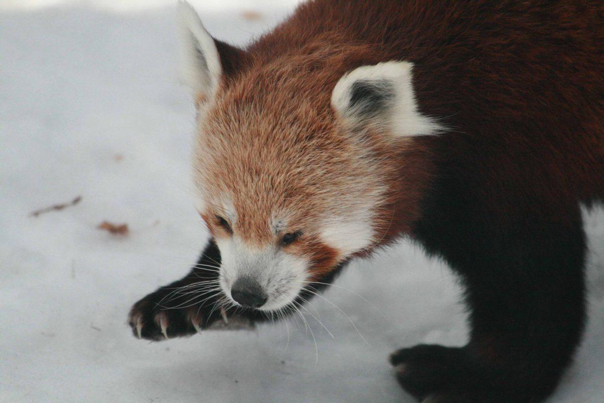 red panda taylor zoo montana