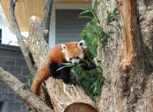 red pandas seneca park zoo