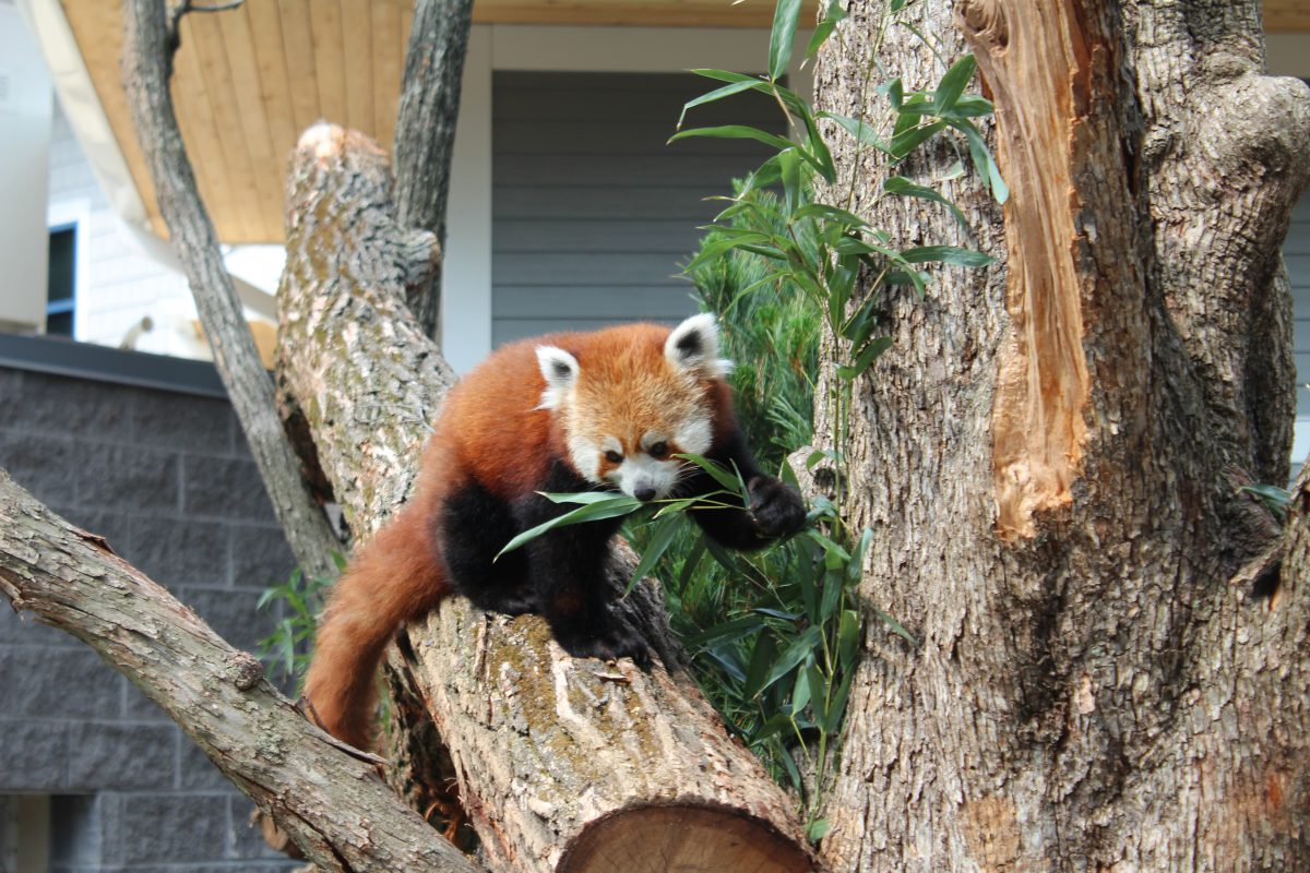 red pandas seneca park zoo