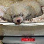 red panda cub binghamton zoo