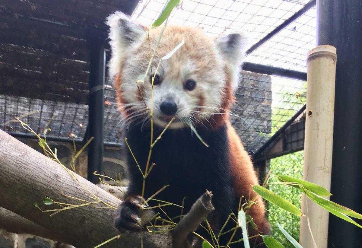 red panda mohu brandywine zoo