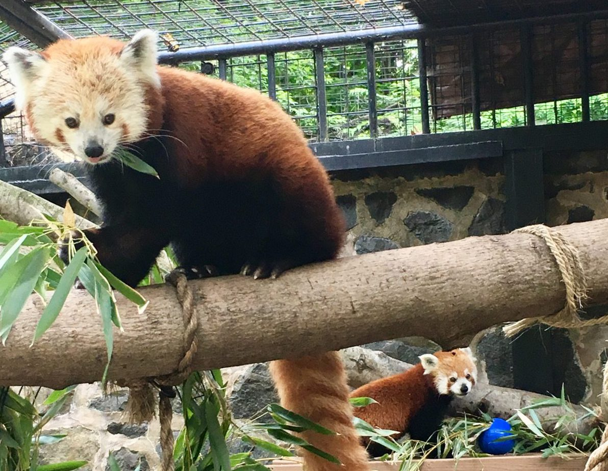 red pandas brandywine zoo