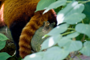 red panda sujet