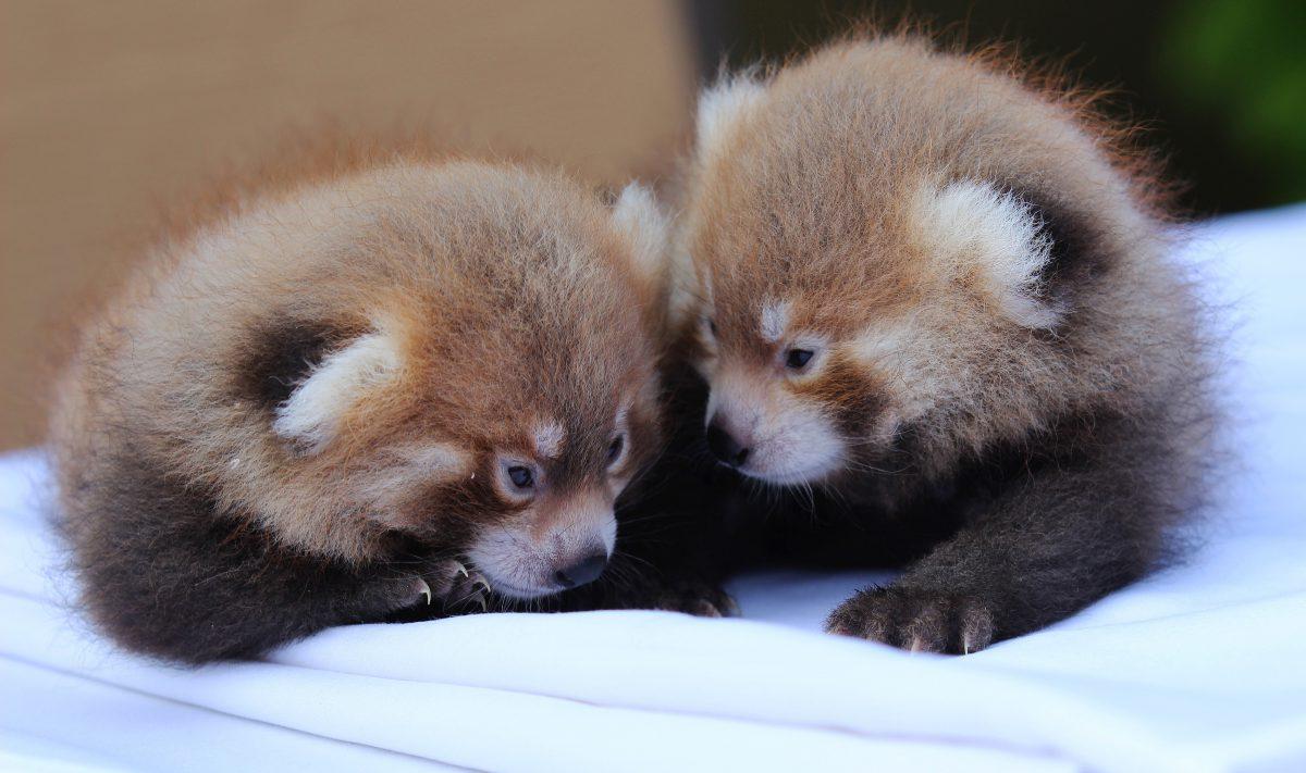 red panda cubs rosamond gifford zoo