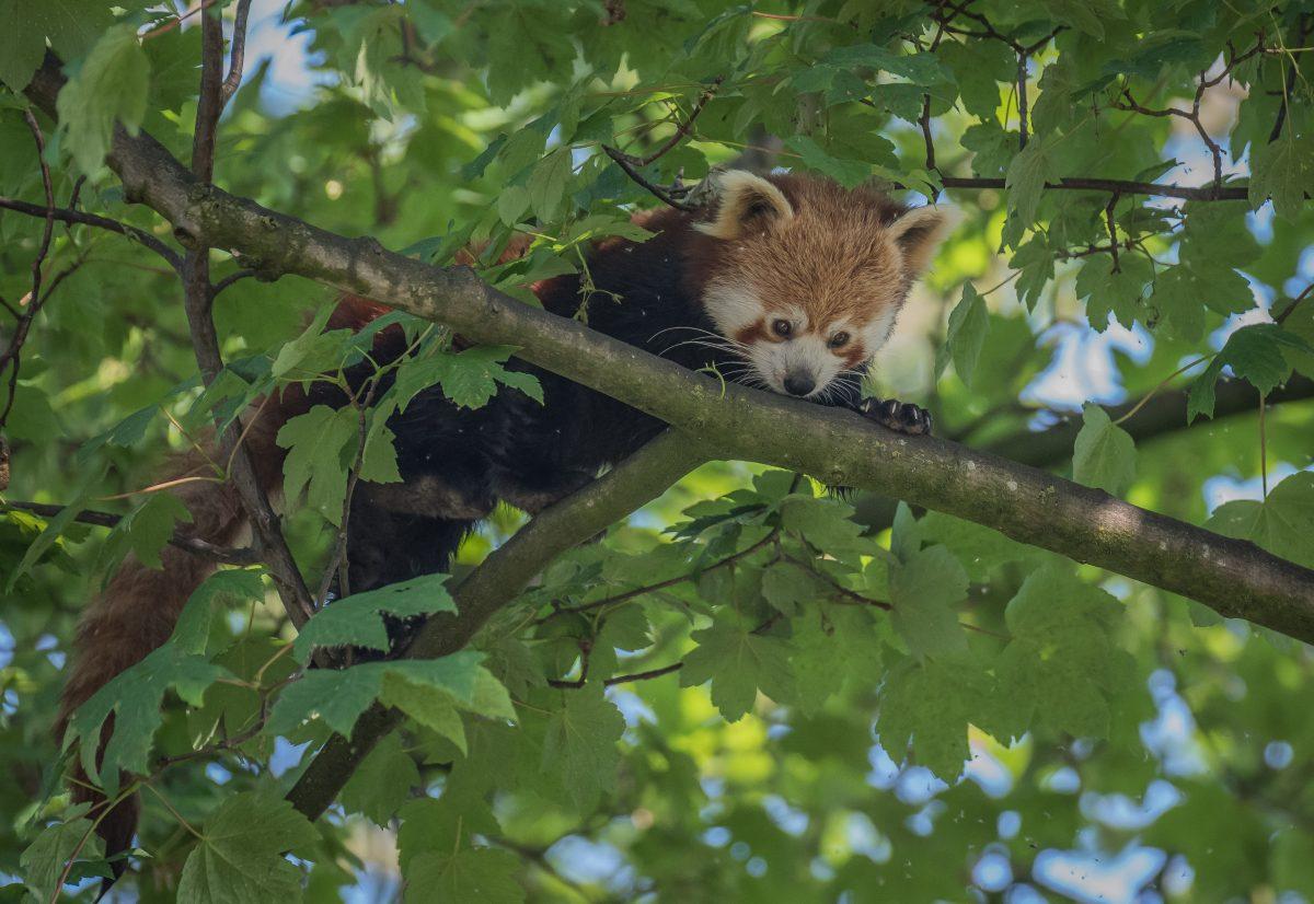 red panda koda chester zoo