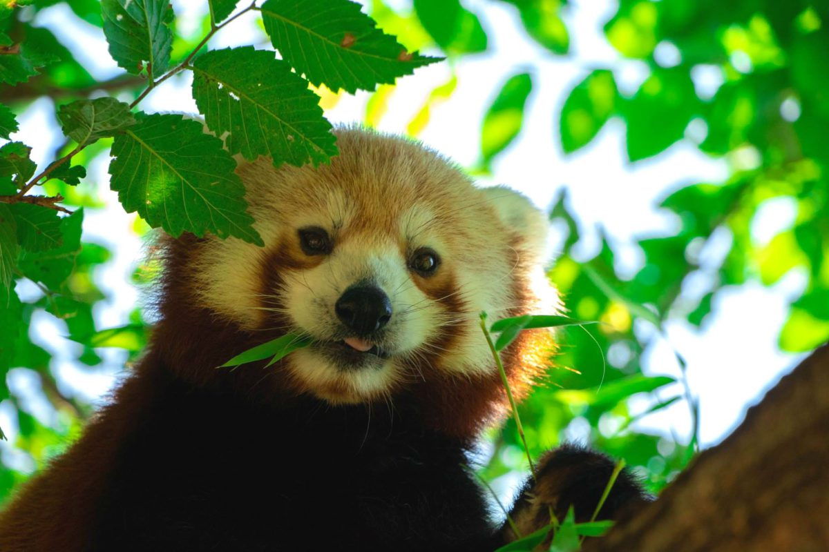premature birth red panda