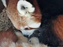 red panda cubs aalborg zoo
