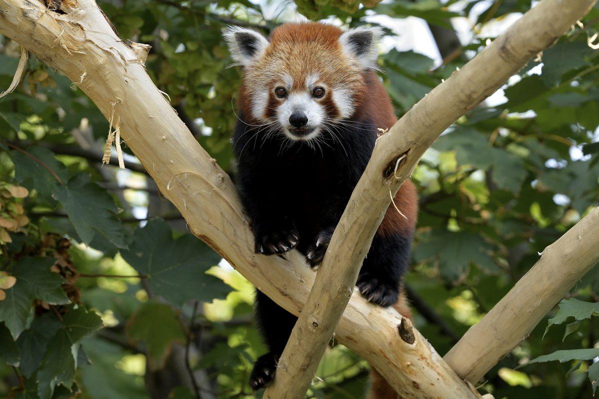 roter panda mahalia tiergarten schönbrunn