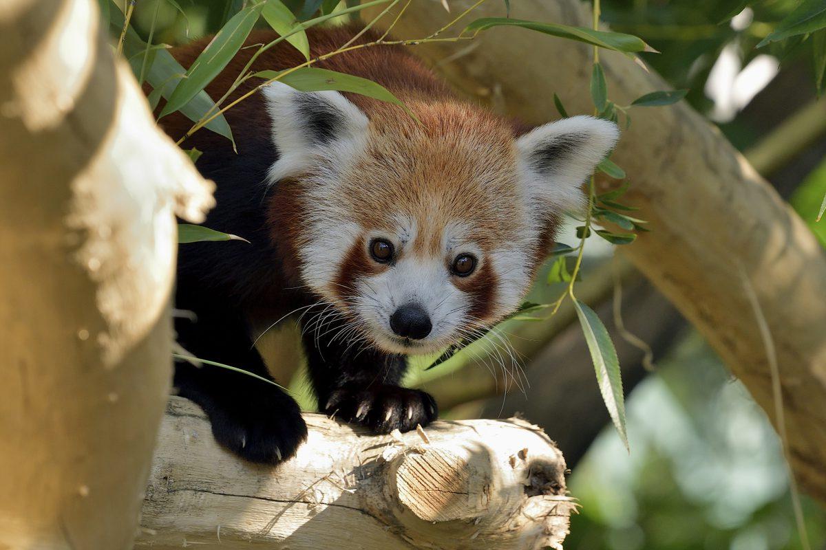 roter panda manjul tiergarten schönbrunn