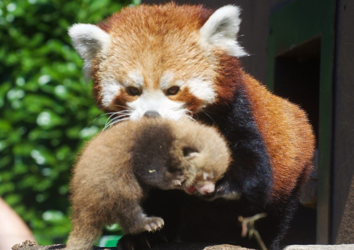 longleat red panda cubs