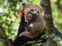red panda rzss highland wildlife park alyson houston