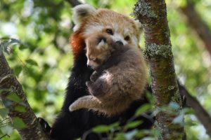 red panda rzss highland wildlife park alyson houston