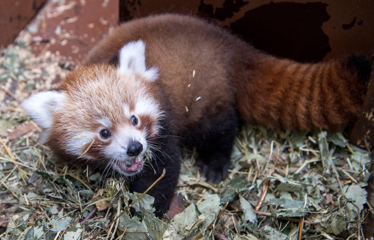 Roter Panda Nachwuchs München