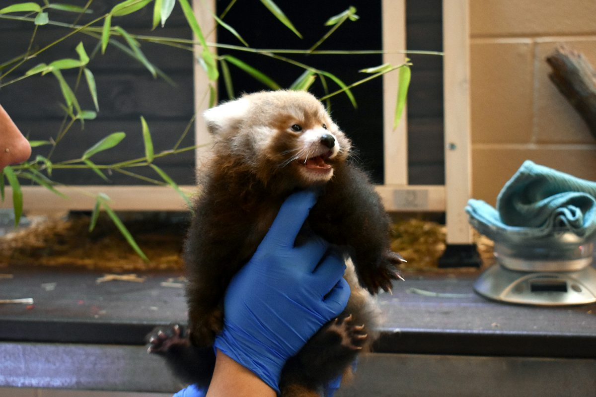 red panda cub virginia zoo