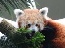 red panda keta river safari singapore