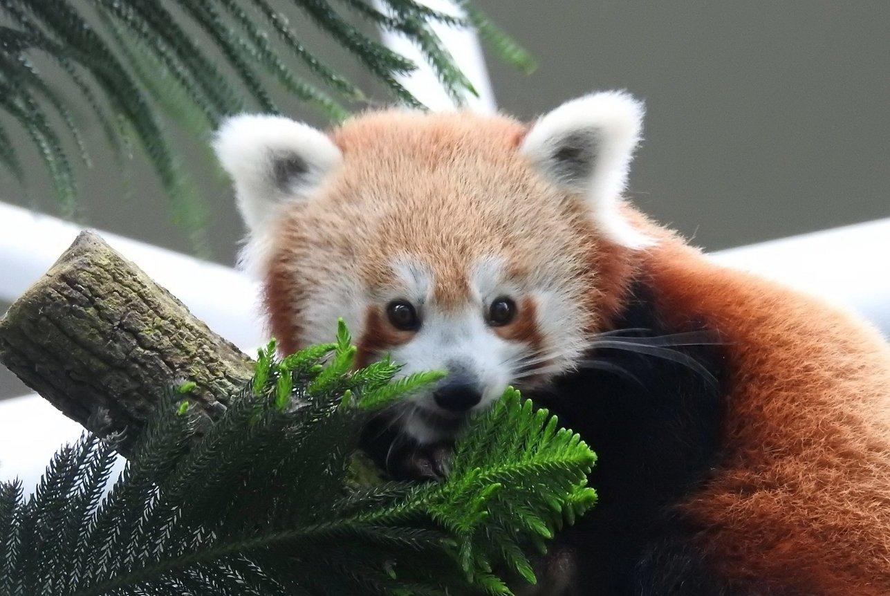 red panda keta river safari singapore