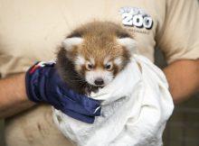 red panda helsinki zoo