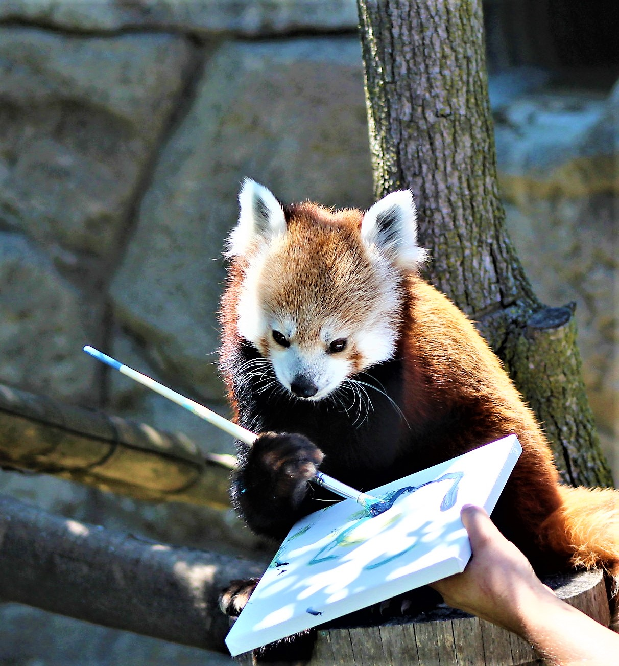 red panda art rosamond gifford zoo