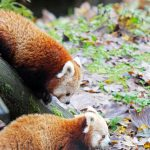 Red Pandas Belfast Zoo