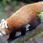 Red Pandas Belfast Zoo