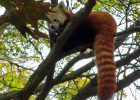 red panda detroit zoo