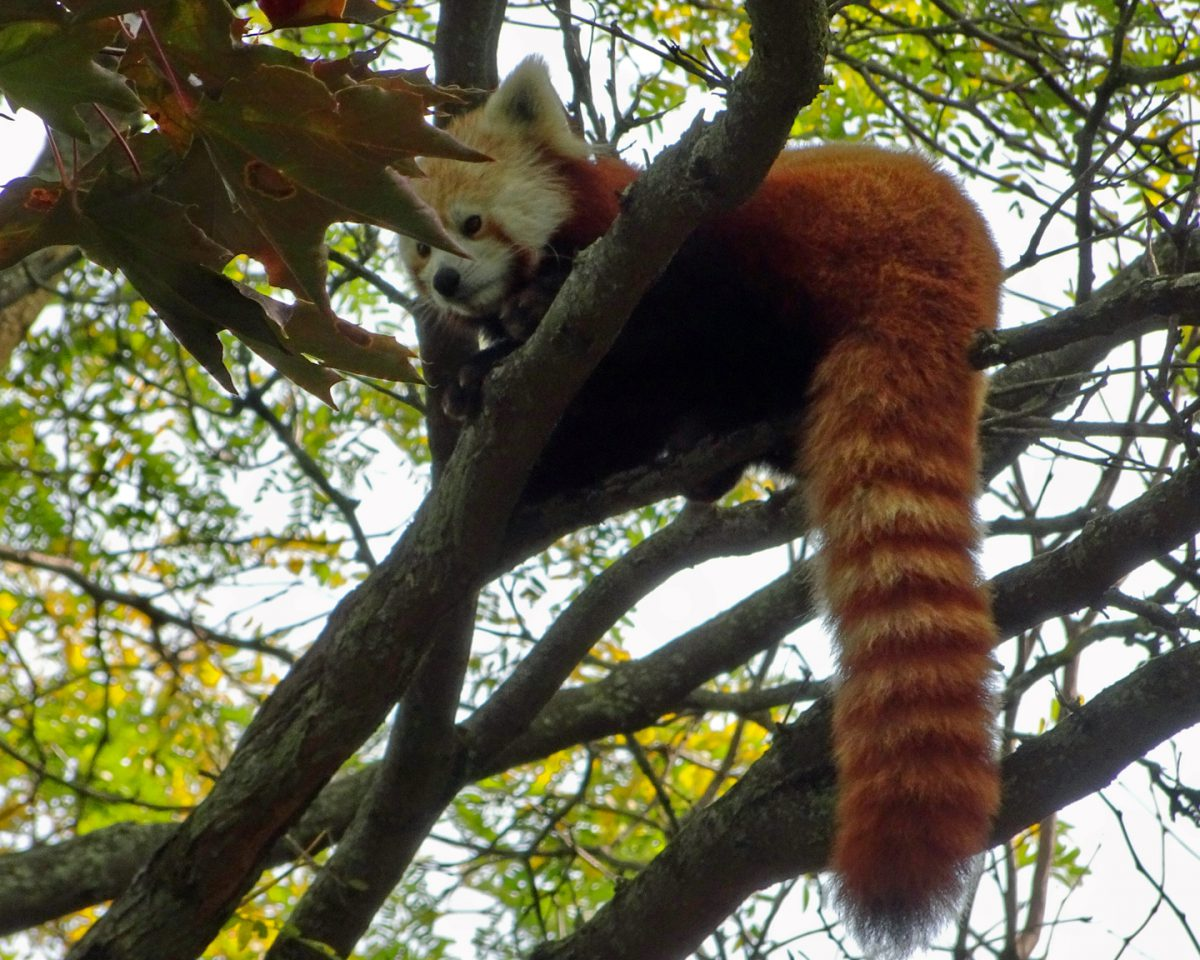 red panda detroit zoo
