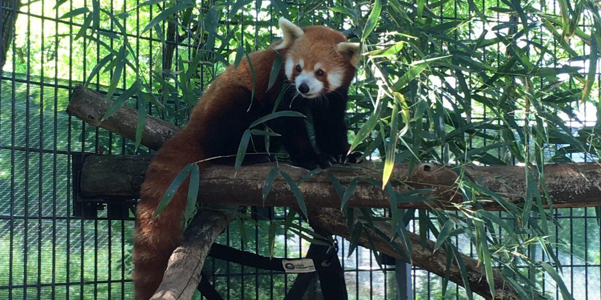 red panda henry dies