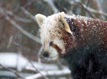 roter panda weihnachten