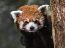 red panda roter panda julien mussar