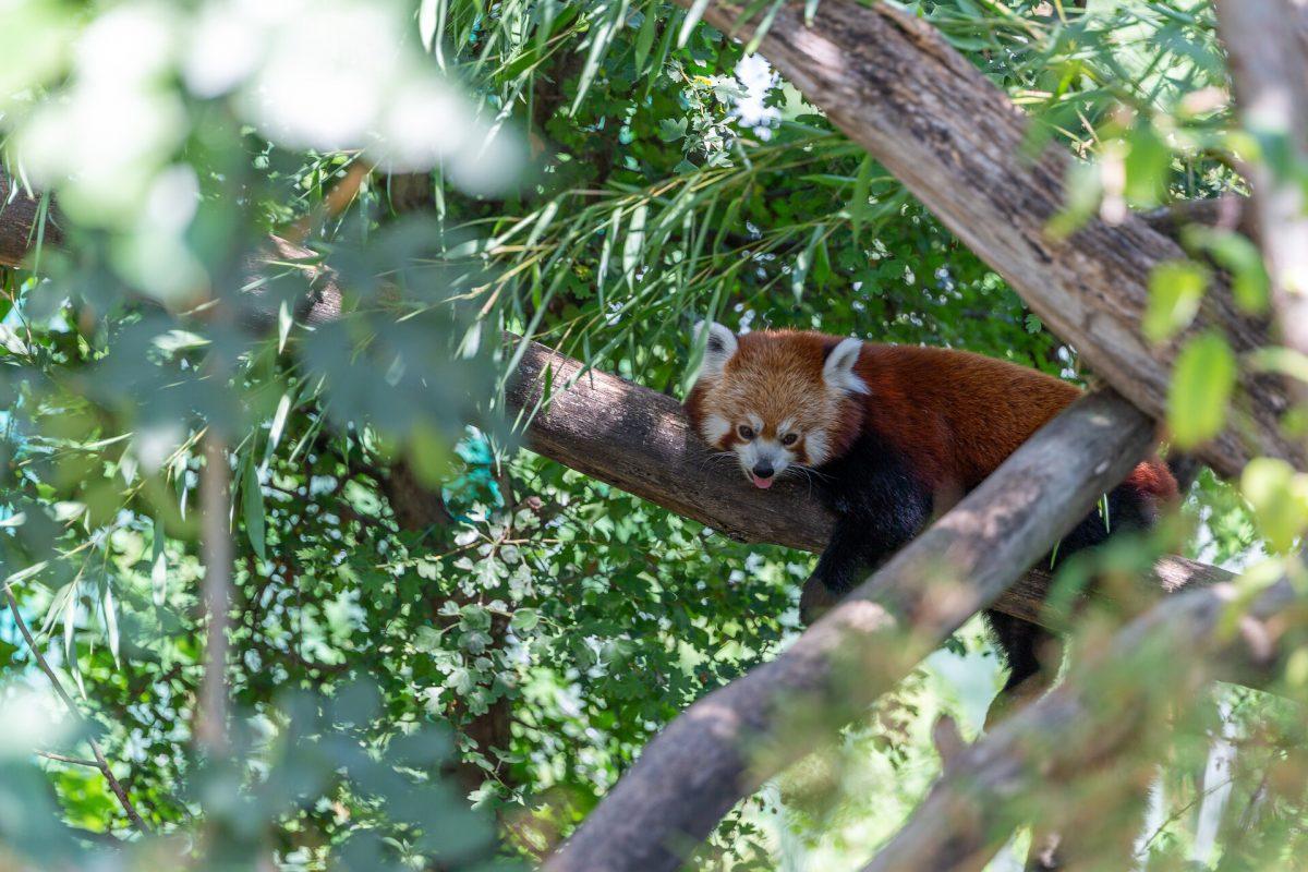 roter panda tiergarten schönbrunn